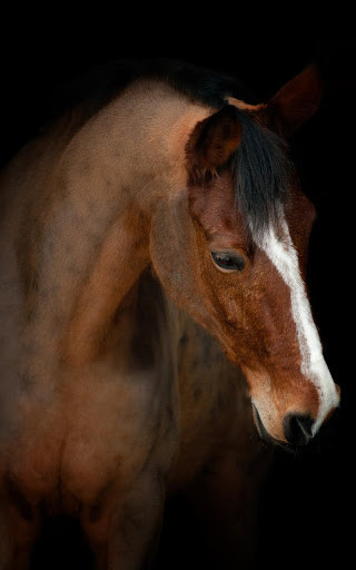 Horse Live Wallpapers For Android Free Download